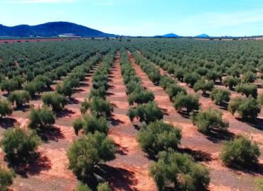 5 datos relevantes del olivo cuando celebra su segundo día mundial
